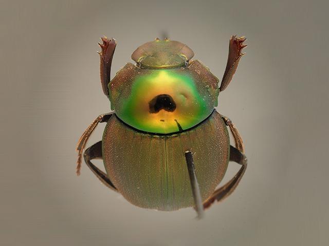 eugeot colabora en el descubrimiento de dos nuevas especies Escarabajo